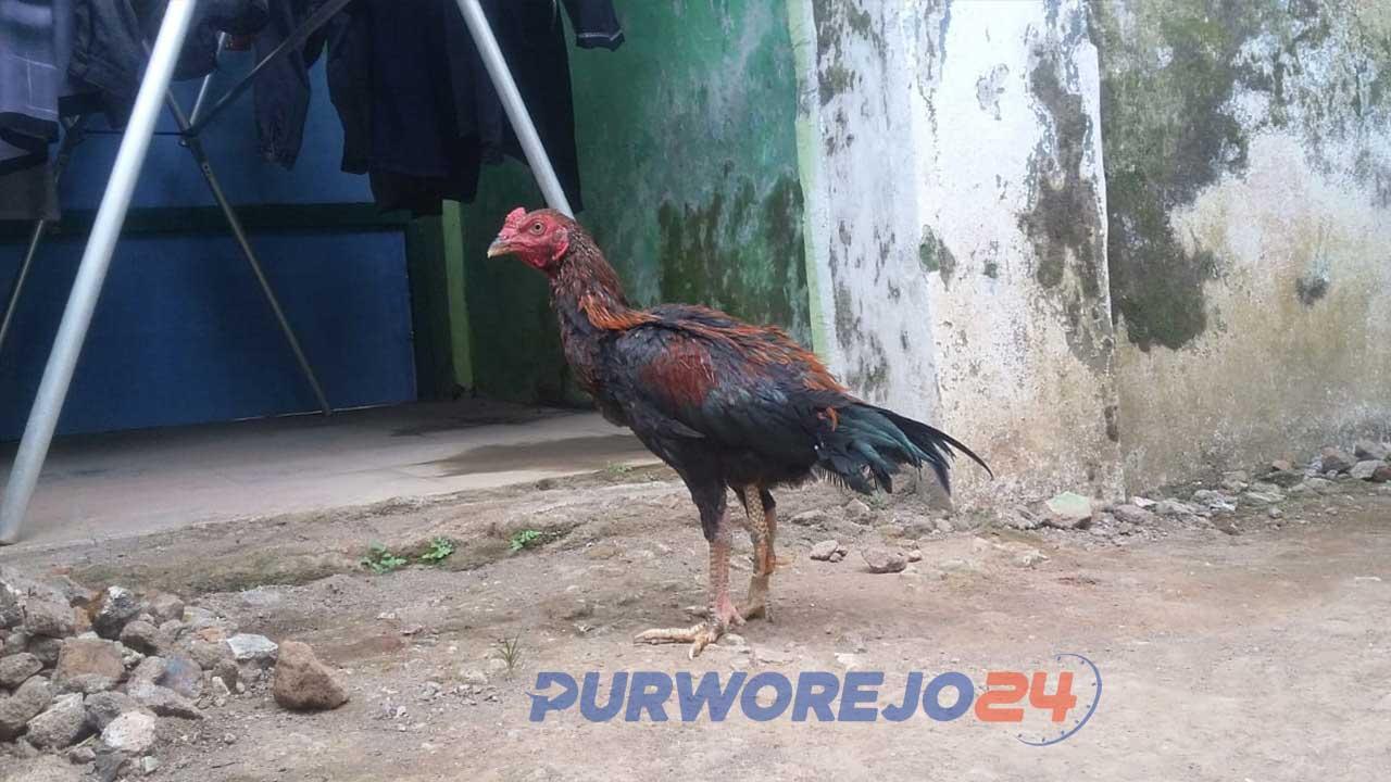 Ayam berkaki tiga milik warga Baledono.