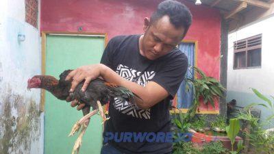 Danan Jaya menunjukkan ayam berkaki tiga miliknya.