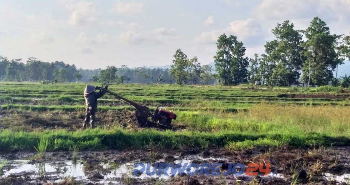 Petani di Desa Kaligesing, Kecamatan Kutoarjo sedang membajak sawah pada MT 1