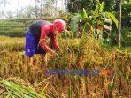 Panen padi di Purworejo
