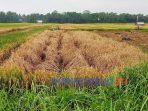 Puluhan hektare sawaj di Pituruh mengalami gagal panen akibat serangan hama